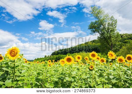 Sunflower Field In Mountains. Beautiful Agricultural Landscape In Summertime