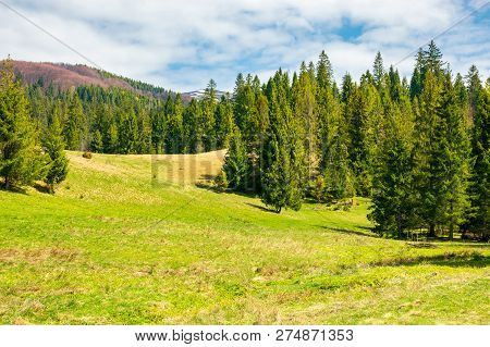 Spruce Trees On Grassy Meadow. Mountain Ridge With Snowy Tops In The Distance. Wonderful Sunny Sprin