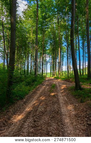 Dirt Road Uphill Through The Deep Beech Forest. Beautiful Nature Scenery With Tall Trees
