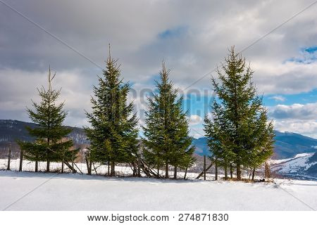 Row Of Spruce Trees On The Edge Of Snowy Slope. Lovely Winter Scenery In Mountain On A Sunny Day Wit