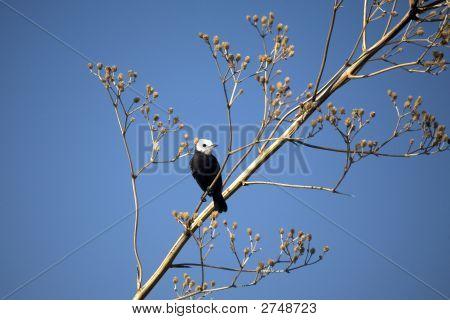 bird White headed Marsh tyrant in tree poster