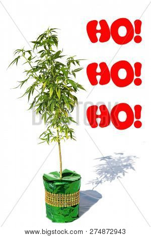 Marijuana Christmas. Marijuana Plant in a Green Foil Wrapped plant pot. Room for text. Text reads Ho Ho Ho. Isolated on white. Marijuana plant Christmas present. Cannabis Plant.