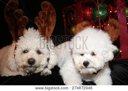 Christmas Dog. Two Bichon Frise dogs on black velvet. Christmas Decorations. Christmas portraits. Cute dog portraits.