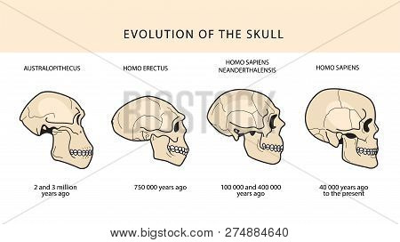 Human Evolution Of The Skull And Text With Dating. Australopithecus, Homo Erectus. Neanderthalensis,