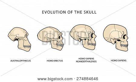 Human Evolution Of The Skull. Australopithecus, Homo Erectus. Neanderthalensis, Homo Sapiens. Histor