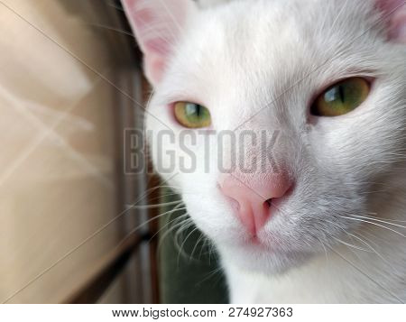 Portrait Of Pure White Cat With Blue Eyes On Isolated Background, Front View