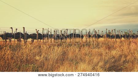 Beautiful Photo Of A Herd Of Ostriches On An Ostrich Farm. Wonderful African Landscape. Group Of Ost