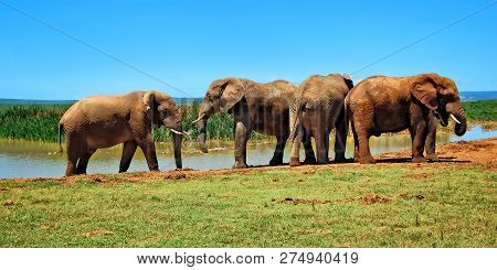 Herd Of Elephants At A Watering Hole. Amazing African Wildlife. Elephant Family In African Lagoon. T