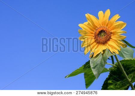 Sunflower In Bloom With Staminas Pestle, Stem And Green Leafs On A Clear Blue Sky
