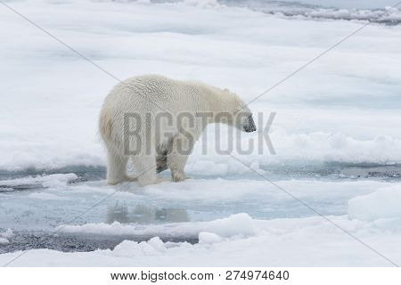 Wild Polar Bear Looking In Water On Pack Ice In Arctic Sea
