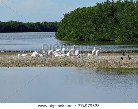 American White Pelican Ding Darling Wildlife Refuge Sanibel Florida