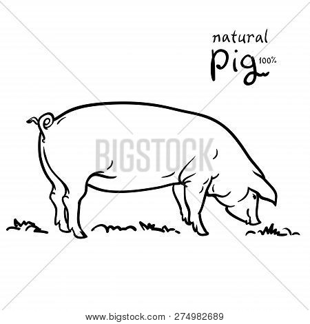 Pig Of Vector Illustration. Isolated On White Background. Pasture