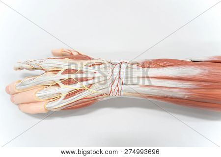 Muscles of the palm hand for anatomy education. Human physiology. poster