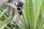 This lemur, with its distinctive ringed tail, was seen foraging for food in Madagascar. poster