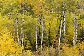 Aspen Grove With Colorful Autumn Leaves, Wyoming