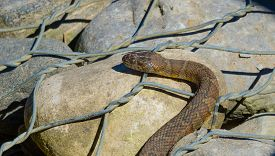 Northern water snake (Nerodia sipedon) large, nonvenomous, common snake in the family Colubridae, ba