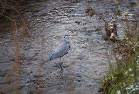 Heron bird walking through river and hunting fish