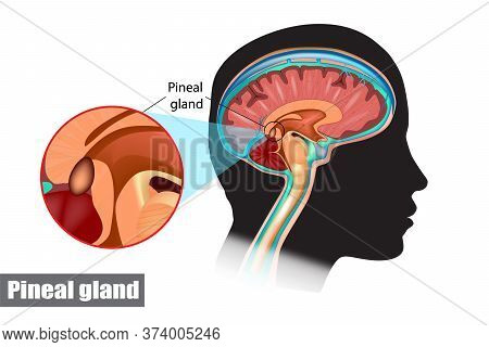 The Pineal Gland, Conarium, Or Epiphysis Cerebri. Diagram Of Pituitary And Pineal Glands In The Huma
