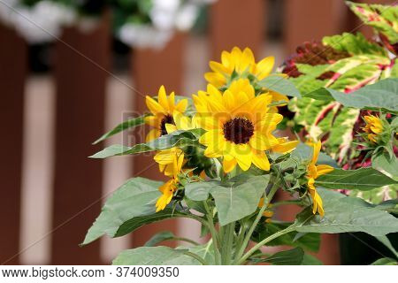 Beautiful Small Yellow Sunflowers On A Bright Sunny Day In Front Of A Brown Fence