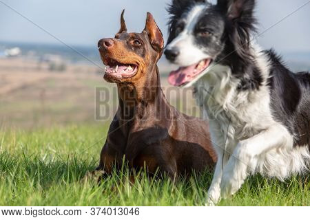 Doberman Dobermann And Border Collie Dogs Lie In The Green Grass On A Hill On A Sunny Day. The Borde