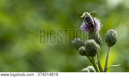 A Bee Sits On A Pink Flower And Pollinates It, Macro