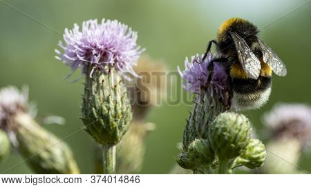 A Shaggy Bumblebee Sits And Pollinates A Pink Flower, Macro
