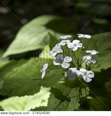 Lunaria Rediviva, Known As Perennial Honesty, Is A Hairy-stemmed Perennial Herb Found Throughout Eur