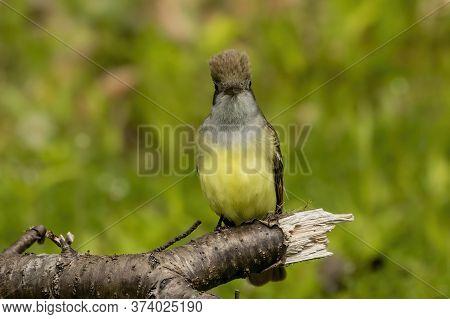 Great Crested Flycatcher In Their Breeding Habitat