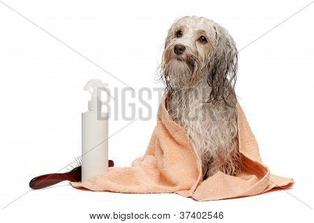 A wet chocolate havanese dog after the bath with a peach towel isolated on white background poster