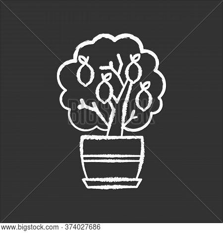 Miniature Lemon Tree Chalk White Icon On Black Background. Potted Evergreen Citrus. Plant With Yello