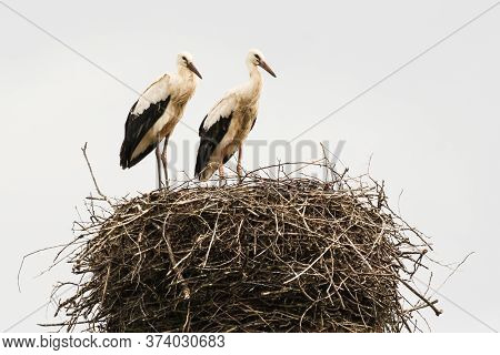 Two Storks In The Nest. Storks In The Wild.
