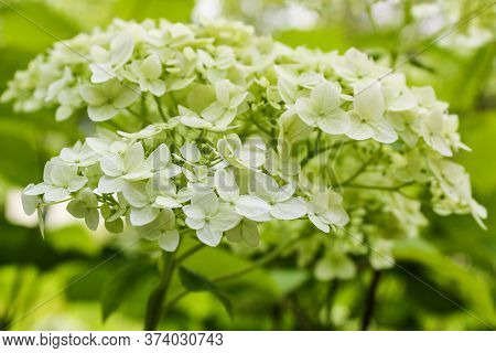 Green Hydrangea Hat. Nature And Plants In The Summer.