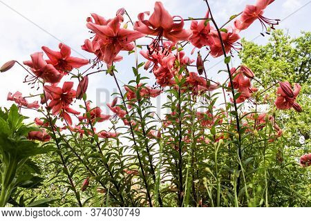 A Bush Of Garden Pink Lilies. Nature And Plants In The Summer.