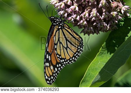 Monarch Butterfly On The Flower Of The Milkweed Plant. The Monarch Is A Milkweed Butterfly In The Fa