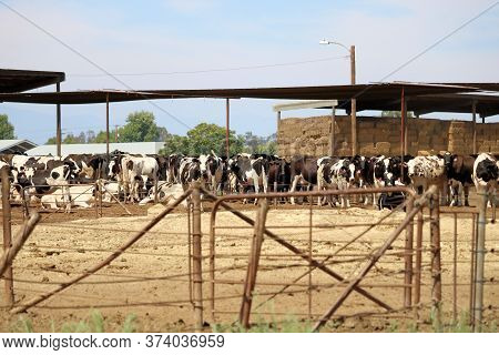 Fence Surrounding An Enclosed Pasture Of Dairy Cows And Piled Haystacks Under A Shelter To Keep The