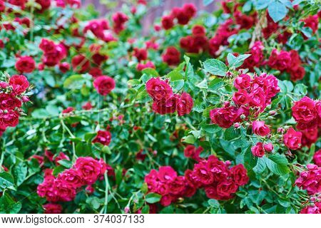 Bushes Rosa Chinensis. Blooming Garden Of Roses. Natural Background