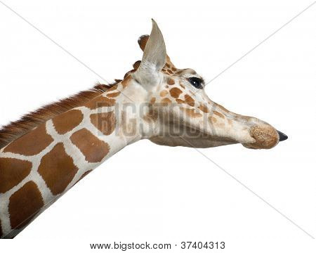 Somali Giraffe, commonly known as Reticulated Giraffe, Giraffa camelopardalis reticulata, 2 and a half years old close up against white background