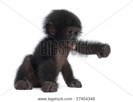 Baby bonobo, Pan paniscus, 4 months old, sitting against white background