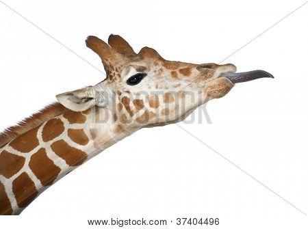Jirafa somalí, comúnmente conocida como la jirafa reticulada, Giraffa camelopardalis reticulata, 2 y ha