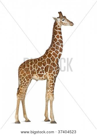 Somali Giraffe, commonly known as Reticulated Giraffe, Giraffa camelopardalis reticulata, 2 and a half years old standing against white background