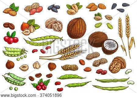 Nuts, Beans, Legumes And Cereal Crop Vector Sketches. Hand Drawn Almond Nut, Peanut, Beans And Pea P