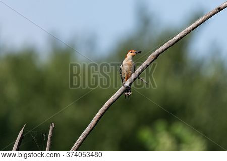 A Male Red Bellied Woodpecker Perched On A Slanted, Bare Branch With A Beak Full Of Bugs To Feed Its