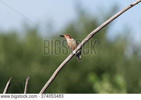 A Male Red Bellied Woodpecker Perched On A Slanted, Bare Branch With A Beak Full Of Food To Feed Its