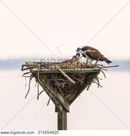 Osprey (pandion Haliaetus) Feeding Its Chicks With Scraps Of Fish In A Man-made Nest. Blackwater Nat