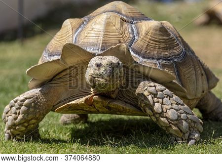 A Very Large, Pet Desert Tortoise Walking On The Backyard Grass