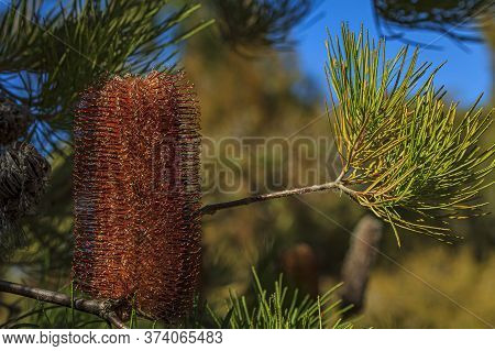 Close Up Of An Inflorescence Of The Heath Leaved Australian Banksia Ericifolia, Gold-and-red Styles