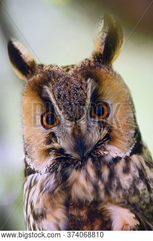 The Long-eared Owl (asio Otus) Or Northern Long-eared Owl, Portrait With A Light Background. Portrai