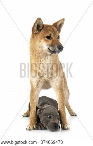 Shiba Inu And Staffie In Front Of White Background