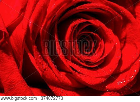Rose Petals. Natural Bright Roses Background. Bright Red Rose For Valentine Day. Closeup, Macro Shot