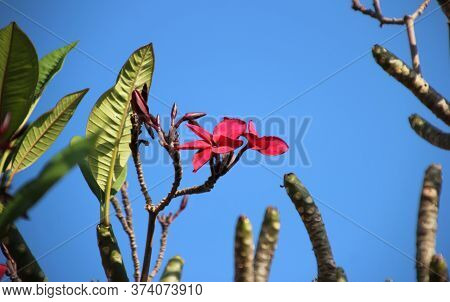 4 Red Plumeria Or Frangipani Flower On Leafless Tree Branches, Cambodia
